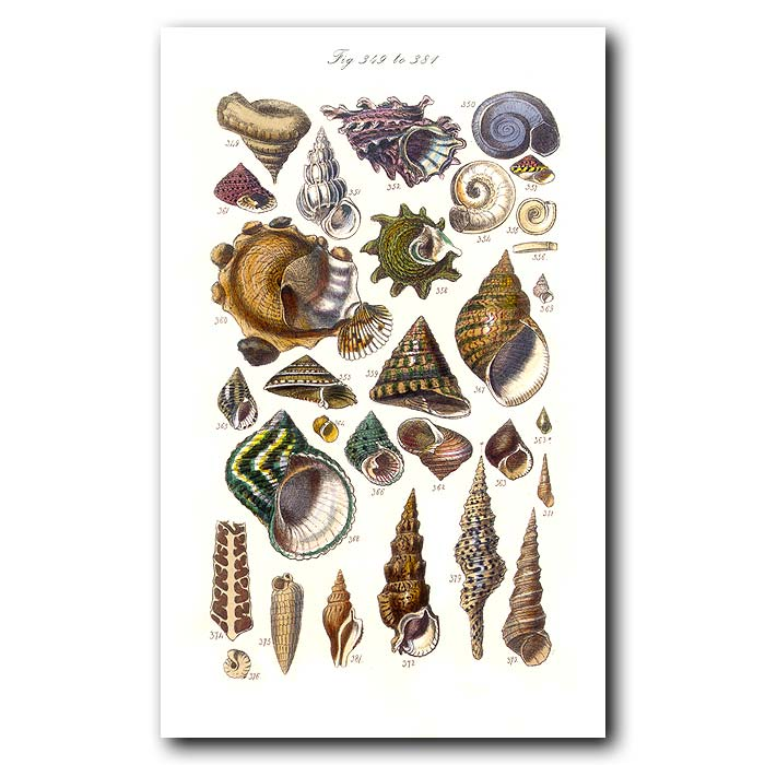 Fine art print for sale. Tropical Turban Seashells