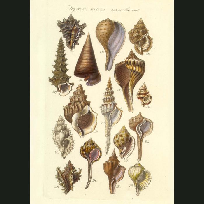 Fine art print for sale. Tropical Canalifera Seashells