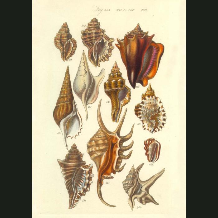 Fine art print for sale. Tropical Canalifera Seashells (III)