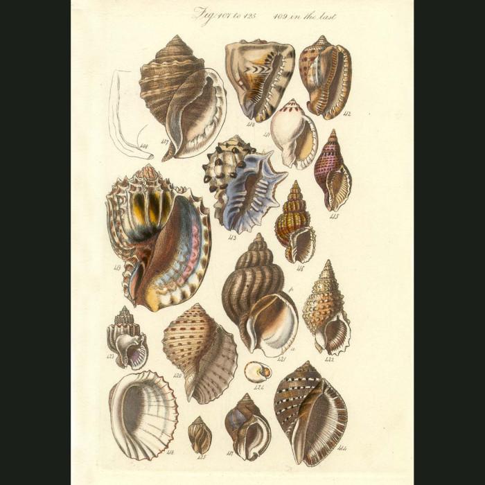 Fine art print for sale. Harp & Conch Seashells