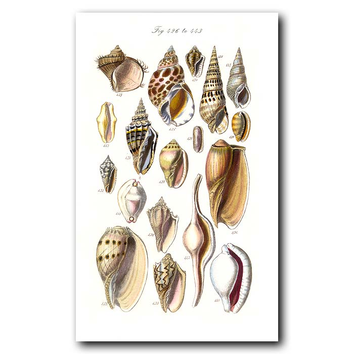 Fine art print for sale. Conch Seashells