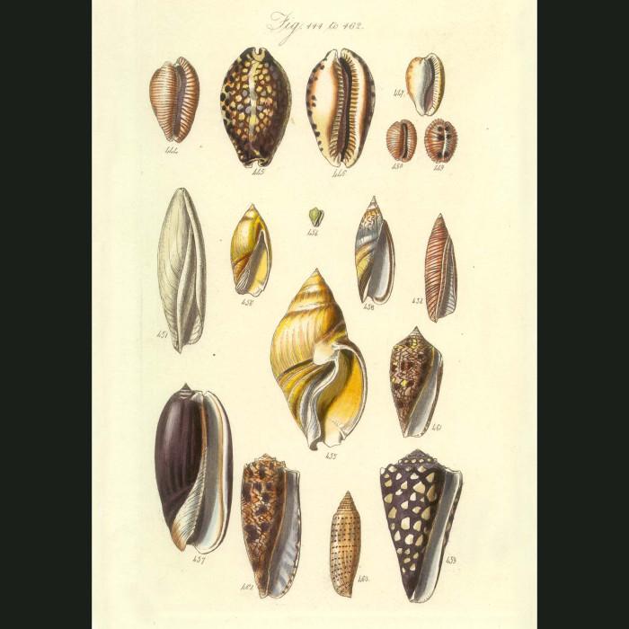 Fine art print for sale. Tropical Cone Seashells