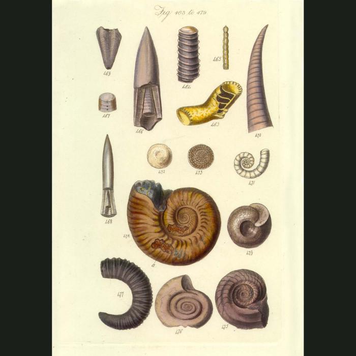 Fine art print for sale. Fossil Ammonite & Belemite Seashells