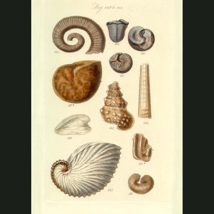 Fine art print for sale. Fossil Argonaut Seashells