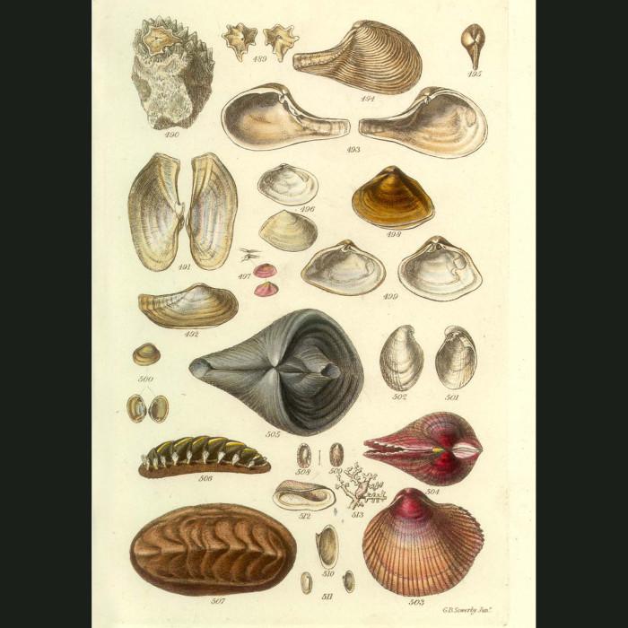 Fine art print for sale. Chiton Seashells