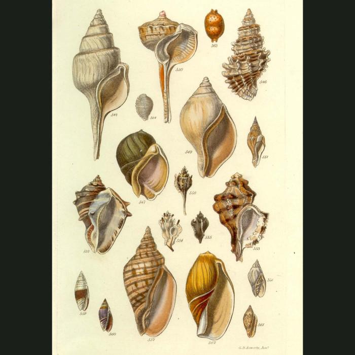 Fine art print for sale. Tropical Canalifera Seashells (II)