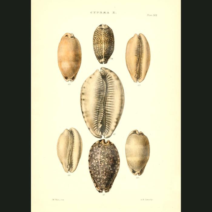 Fine art print for sale. Large Cowry Seashells