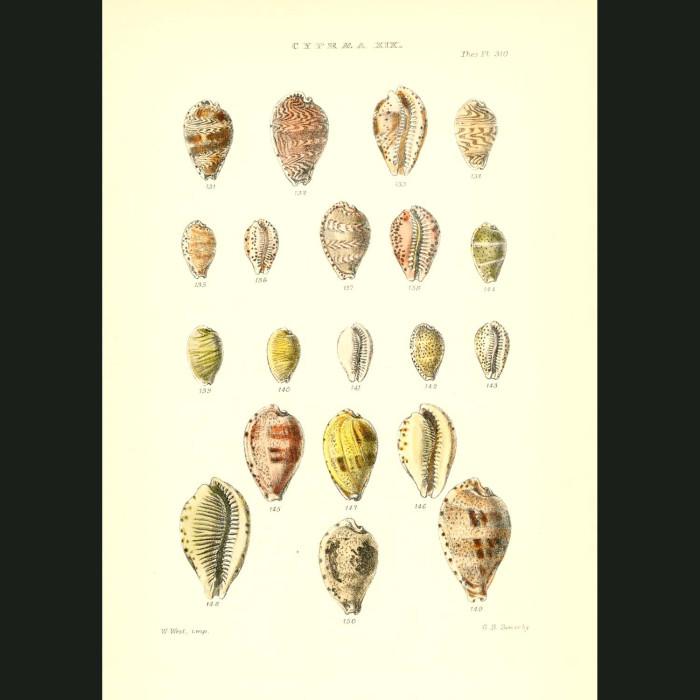 Fine art print for sale. Cowry Seashells