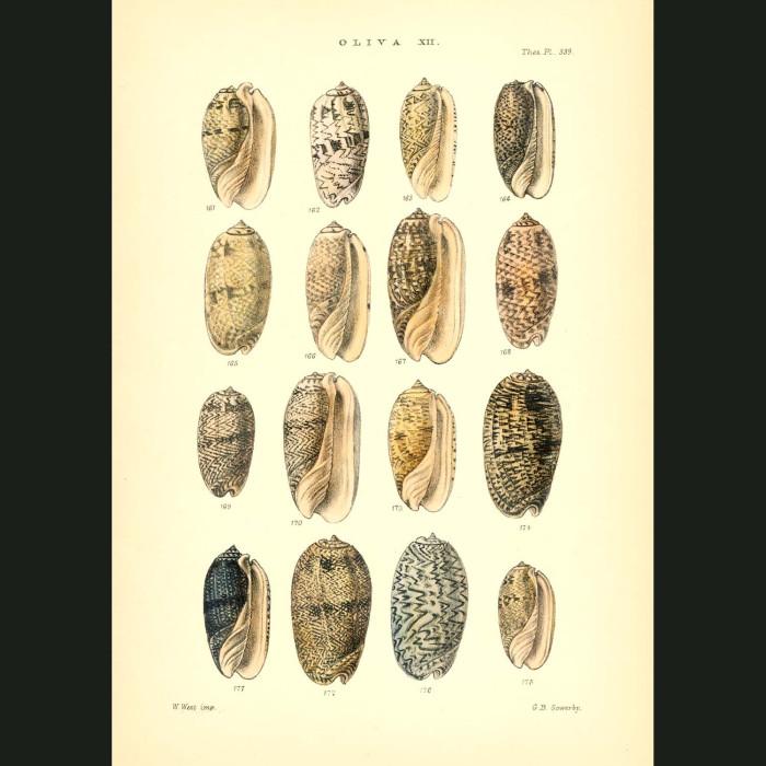 Fine art print for sale. Olive Seashells (II)