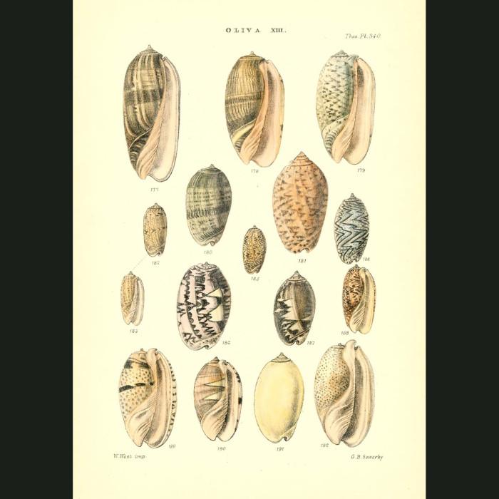 Fine art print for sale. Olive Seashells