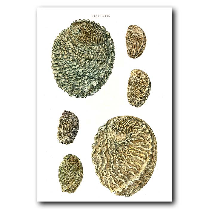 Fine art print for sale. Large Abalone Seashells