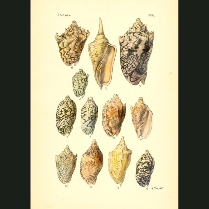 Fine art print for sale. Zebra Volute Seashells