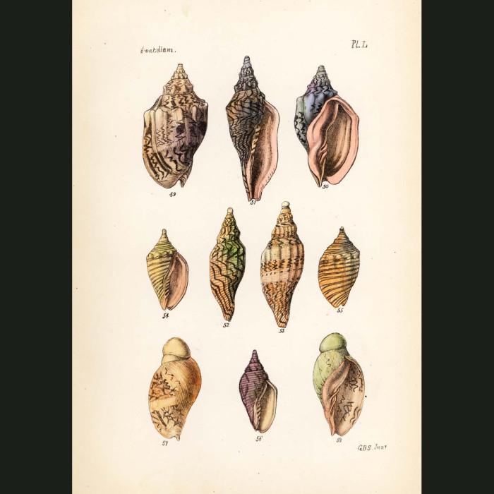 Fine art print for sale. Large Volute Seashells