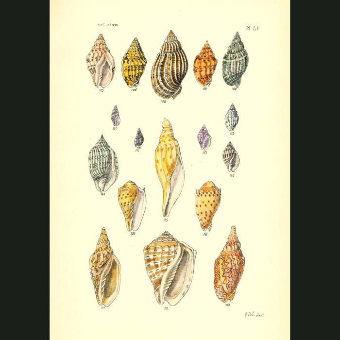 Fine art print for sale. Spotted Volute Seashells