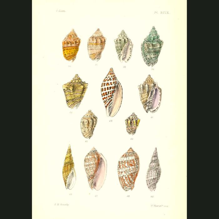 Fine art print for sale. Colourful Olive Seashells
