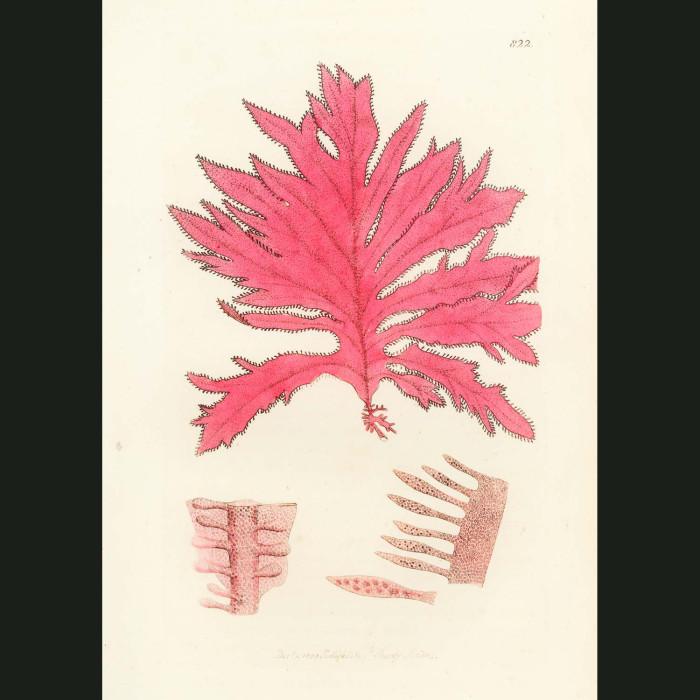 Fine art print for sale. Red Oak-leaved Fucus. Fucus sinuosus