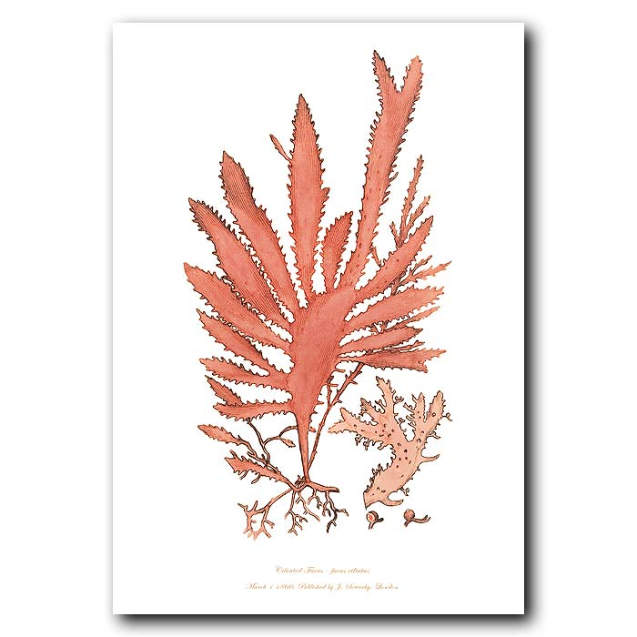 Fine art print for sale. Ciliated Fucus Seaweed.