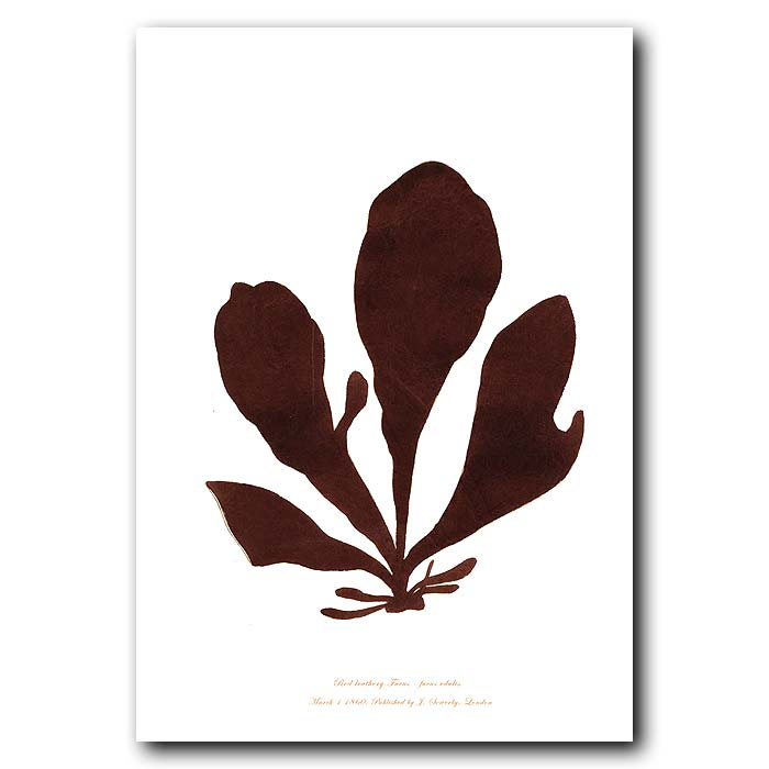 Fine art print for sale. Red Leathery Fucus. Fucus edulis