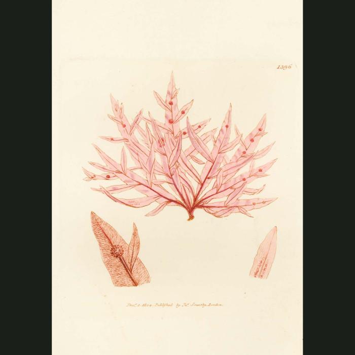 Fine art print for sale. Sharp Tongue-bearing Fucus Seaweed. Fucus hypoglossum