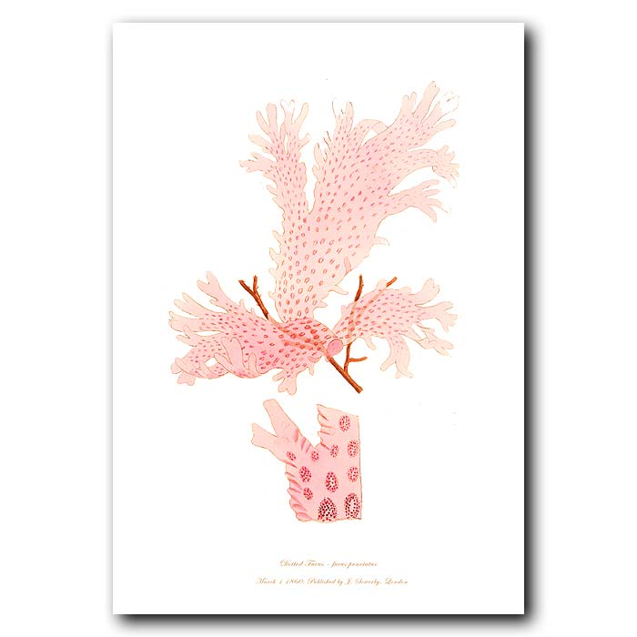 Fine art print for sale. Dotted Fucus Seaweed. fucus punctatus