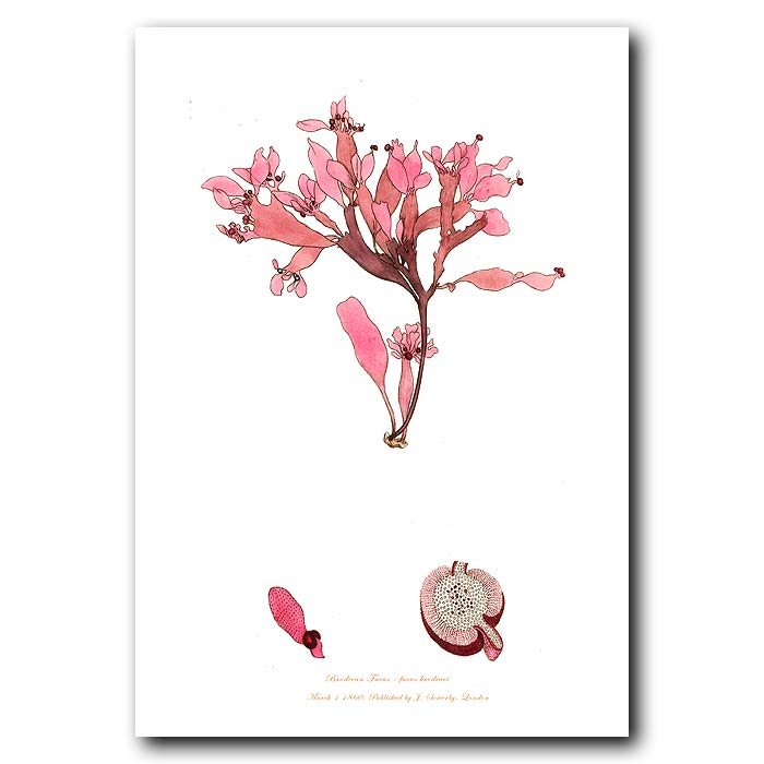 Fine art print for sale. Brodiean Fucus Seaweed.