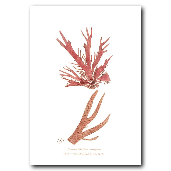Fine art print for sale. Red Laver Seaweed. Ulva ligulata