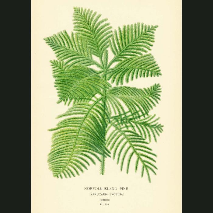 Fine art print for sale. Norfolk Island Pine