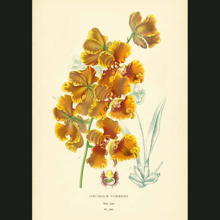 Fine art print for sale. Oncidium forbesii orchid