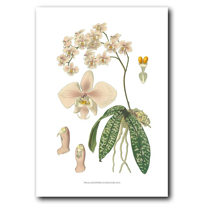 Fine art print for sale. Phalaenopsis schilleriana orchid