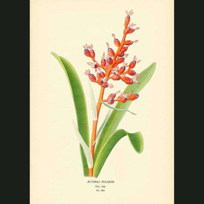 Fine art print for sale. Bromeliad Aechmea Fulgens