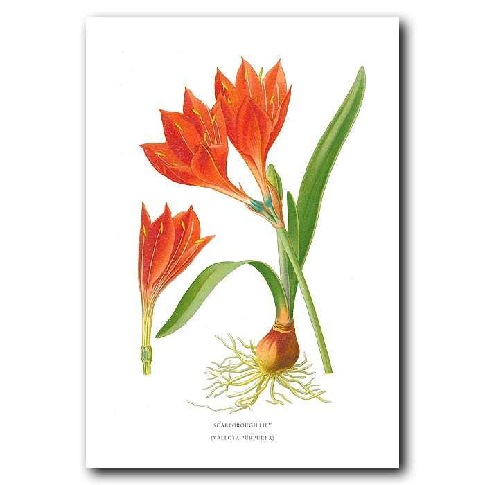 Fine art print for sale. Scarborough Lily