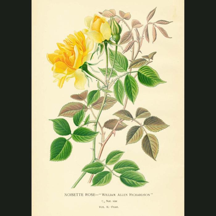 Fine art print for sale. Noisette Rose