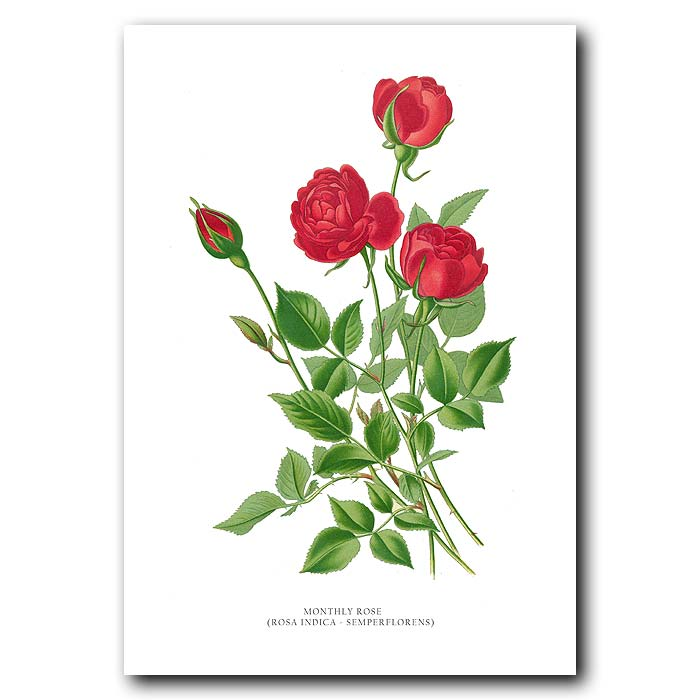 Fine art print for sale. Monthly Rose