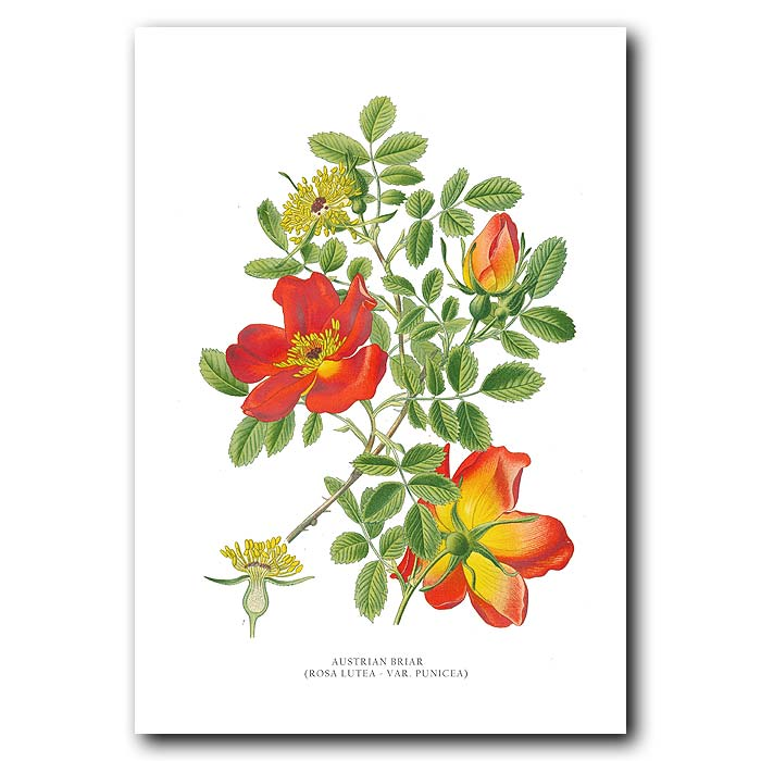 Fine art print for sale. Austrian Briar Rose
