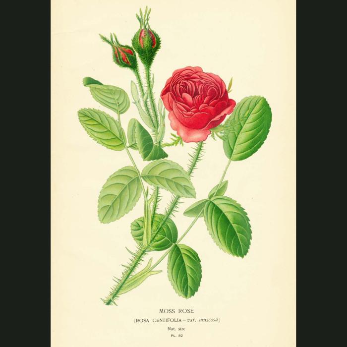 Fine art print for sale. Moss Rose
