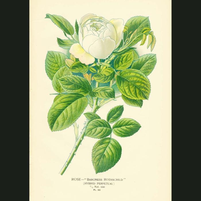 Fine art print for sale. Baroness Rothschild White Rose