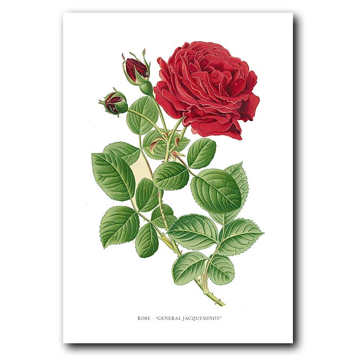 Fine art print for sale. General Jacqueminot Rose