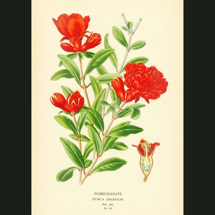Fine art print for sale. Pomegranate