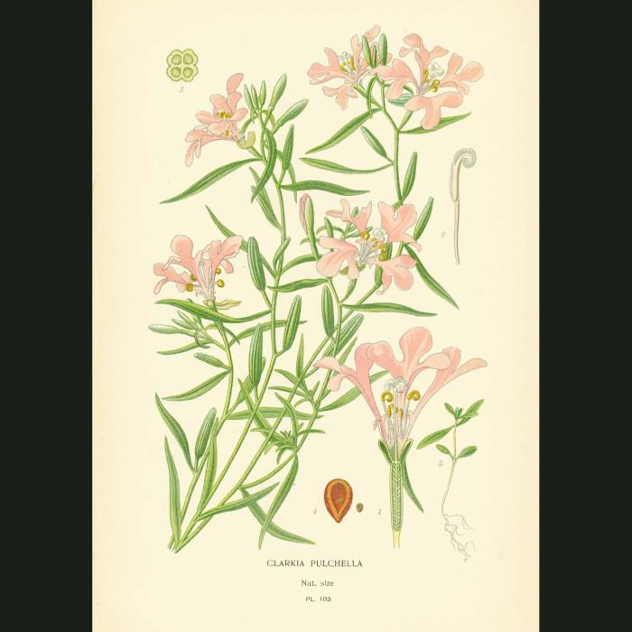 Fine art print for sale. Ragged Robin or Pink Fairies