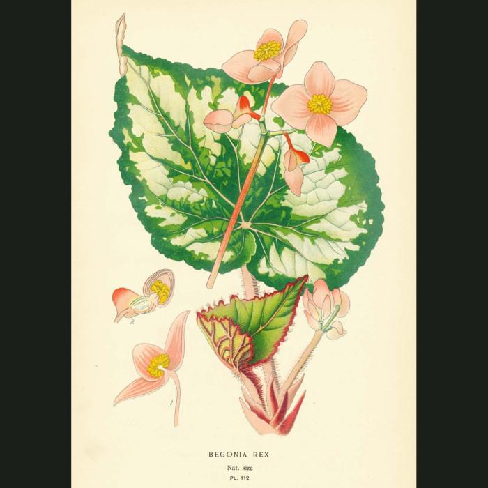 Fine art print for sale. Begonia Rex
