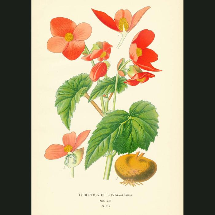 Fine art print for sale. Tuberous Begonia