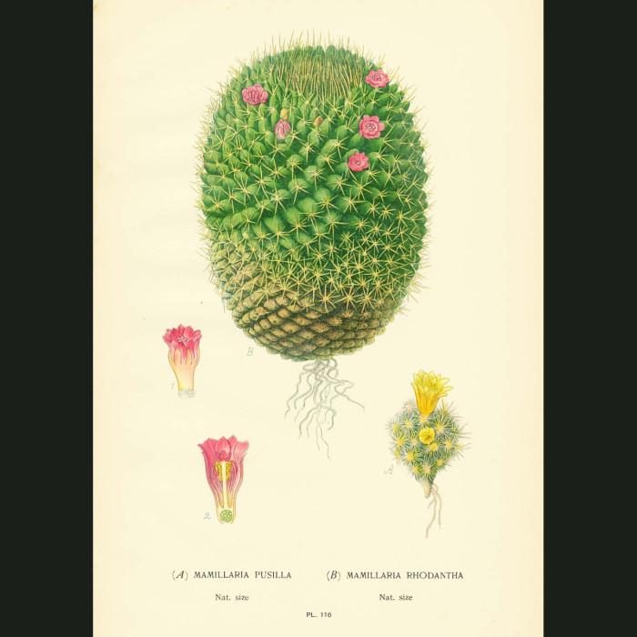 Fine art print for sale. Mamillaria cactus