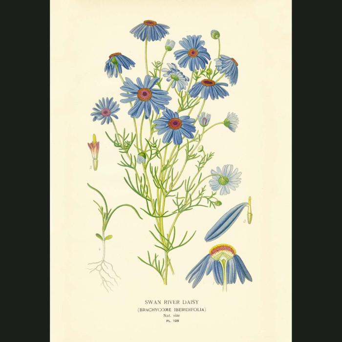 Fine art print for sale. Swan River Daisies