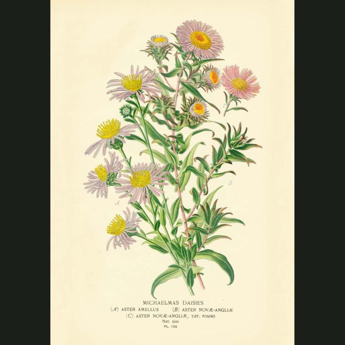 Fine art print for sale. Michaelmas Daisies