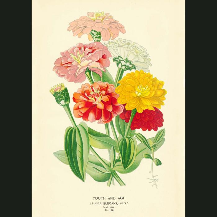 Fine art print for sale. Zinnia elegans