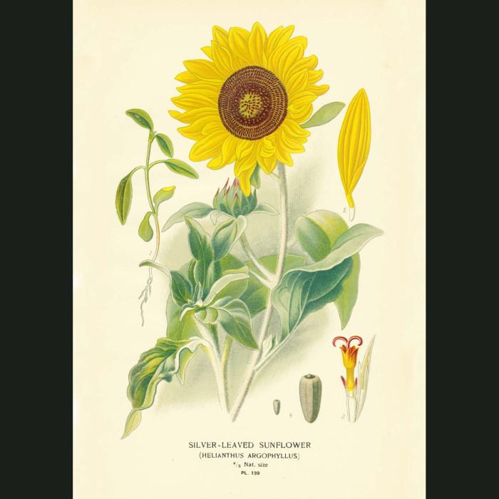 Fine art print for sale. Silver-leaved Sunflower