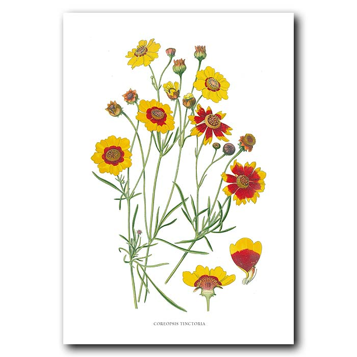 Fine art print for sale. Goldenwave (Coreopsis tinctoria)
