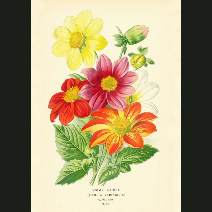 Fine art print for sale. Single Dahlia