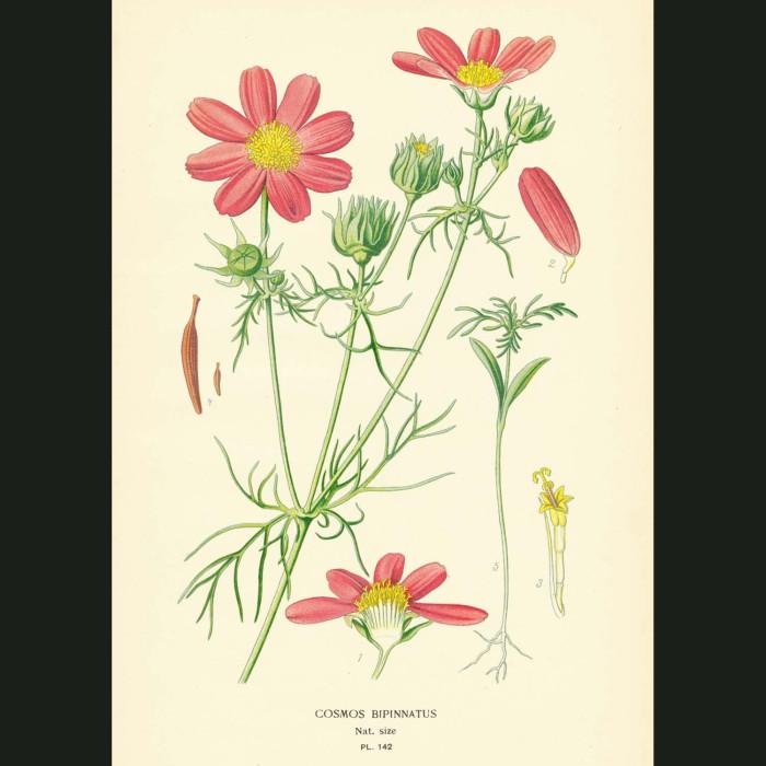 Fine art print for sale. Cosmos bipinnatus