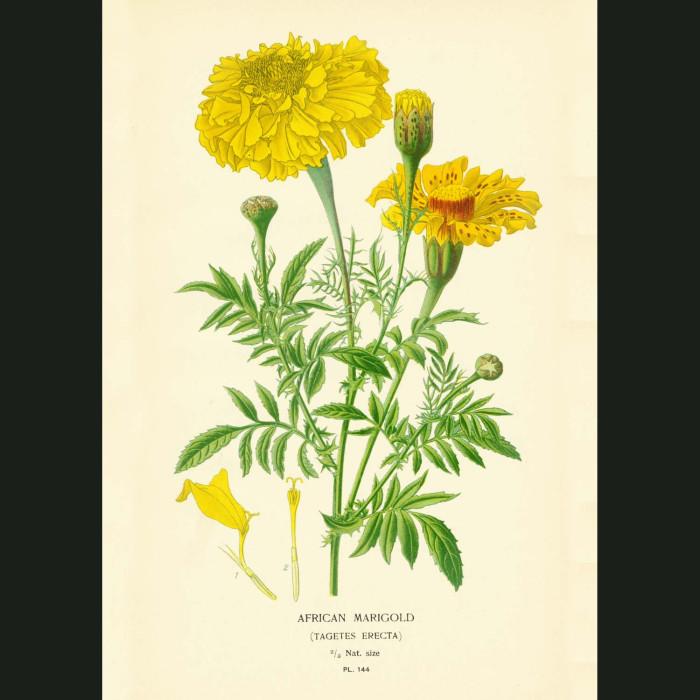Fine art print for sale. African Marigolds